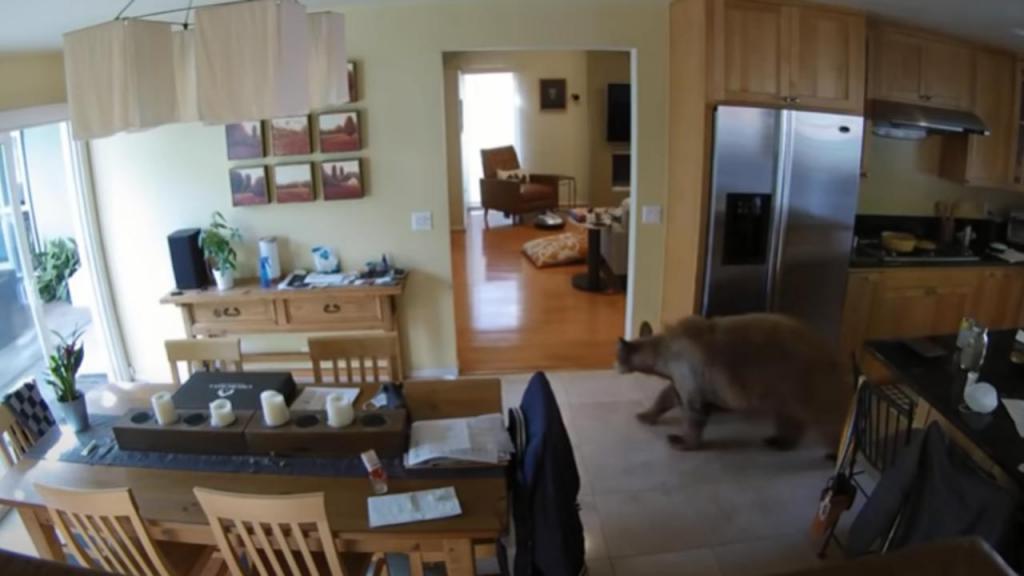 Urso invade casa