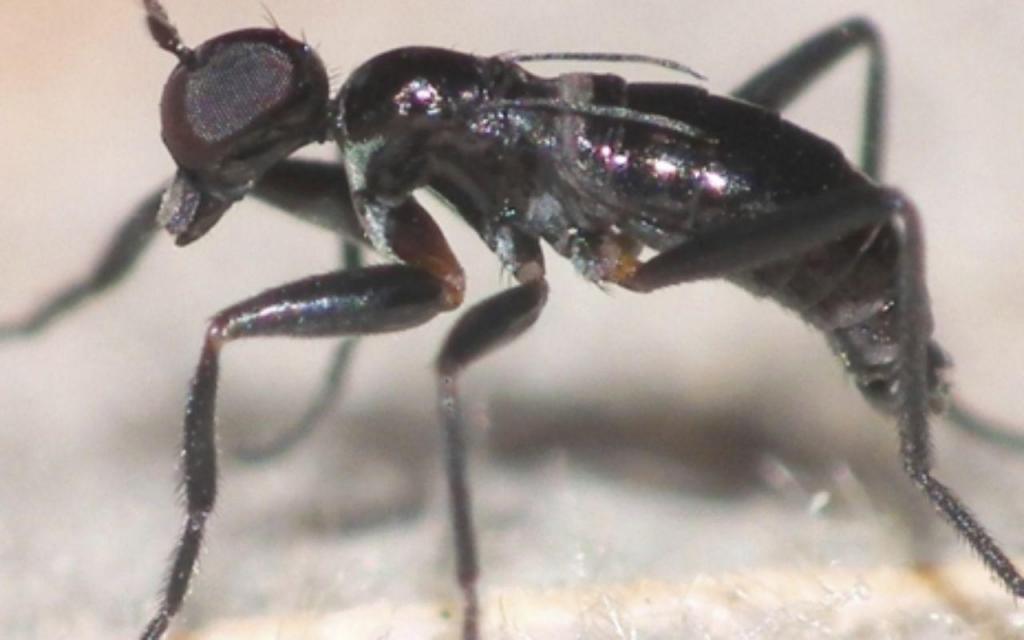Tachydromia stenoptera