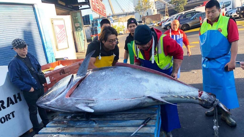 Atum com 271 kg pescado na Nova Gales do Sul