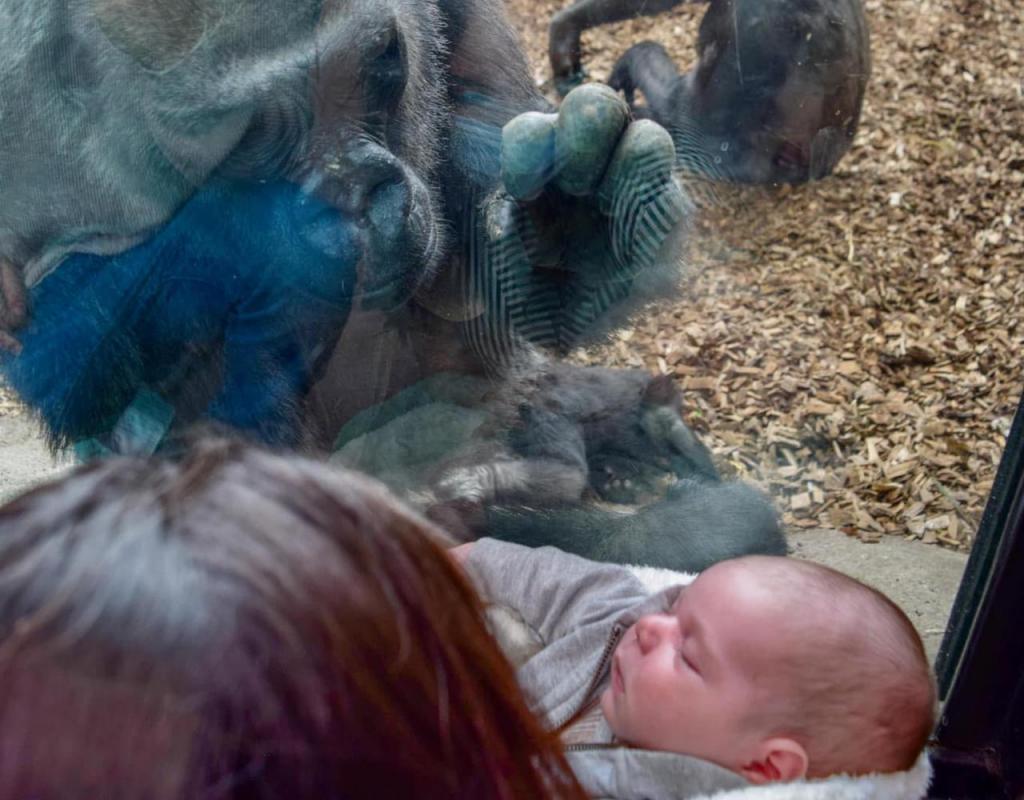 Gorila interage com bebé