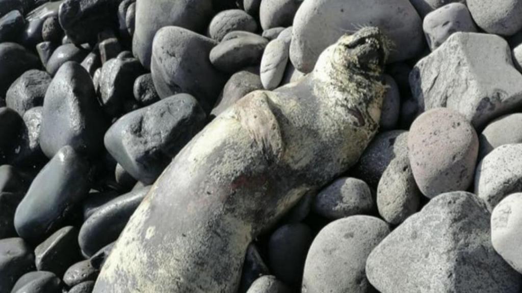 Lobo marinho morto na Calheta