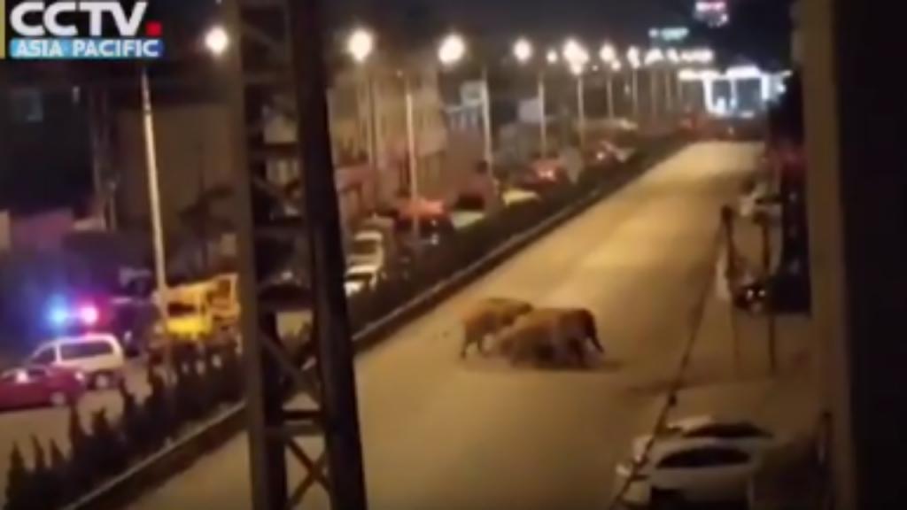 China: manada de 15 elefantes foge de reserva natural