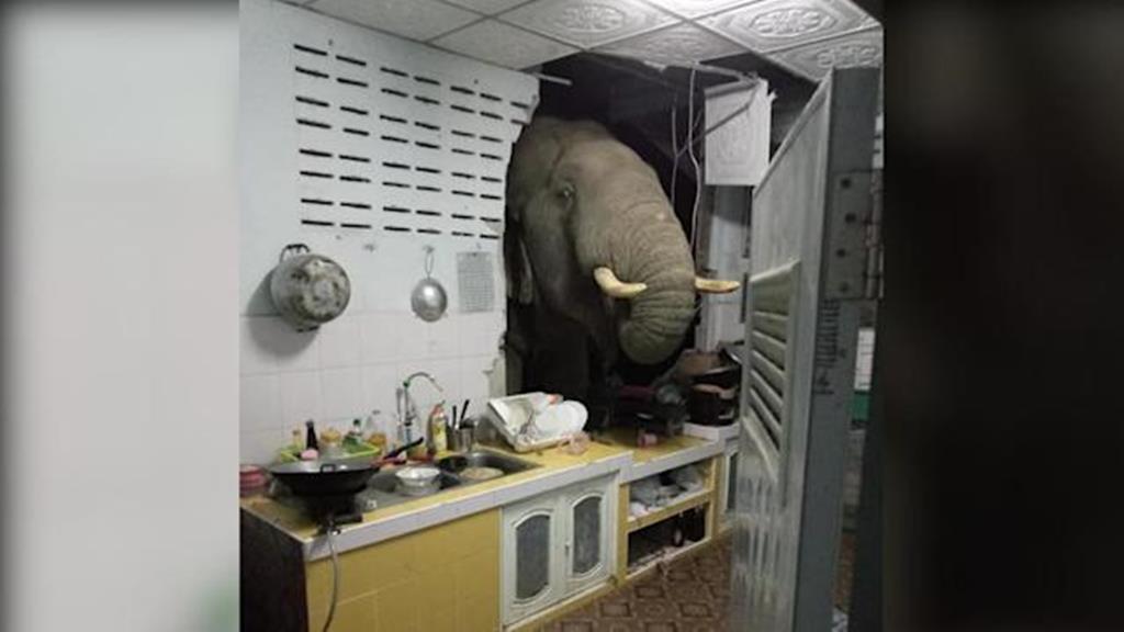 Elefante invade cozinha