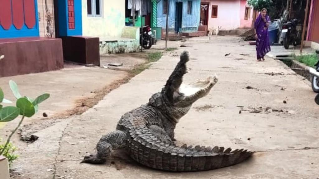 Crocodilo passeia calmamente numa aldeia na índia