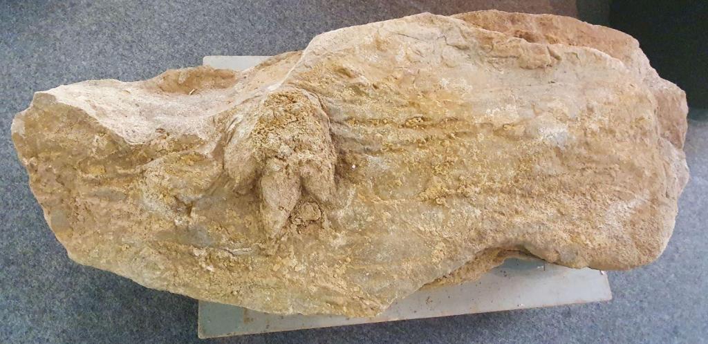 Fóssil de pegada de dinossauro