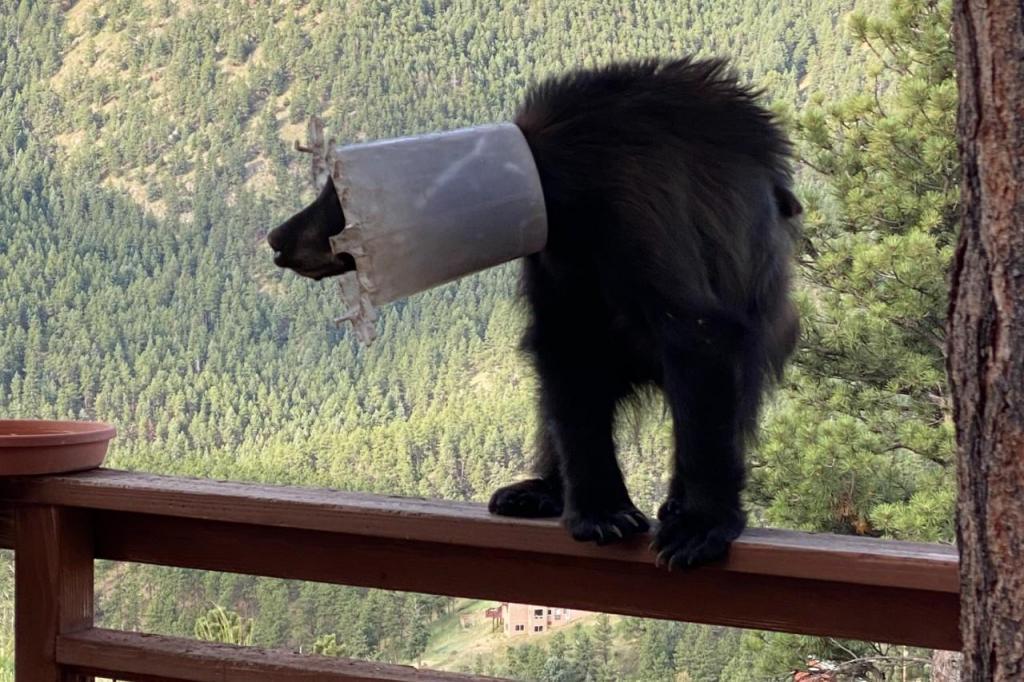 Urso com balde na cabeça