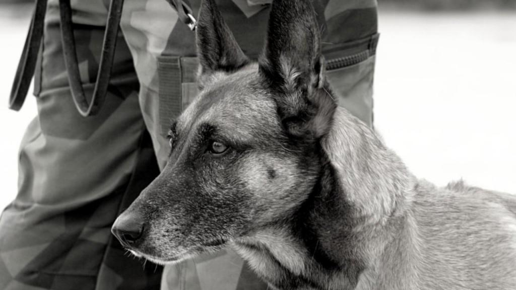 Tropas dos EUA deixam para trás dezenas de cães do exército em Cabul