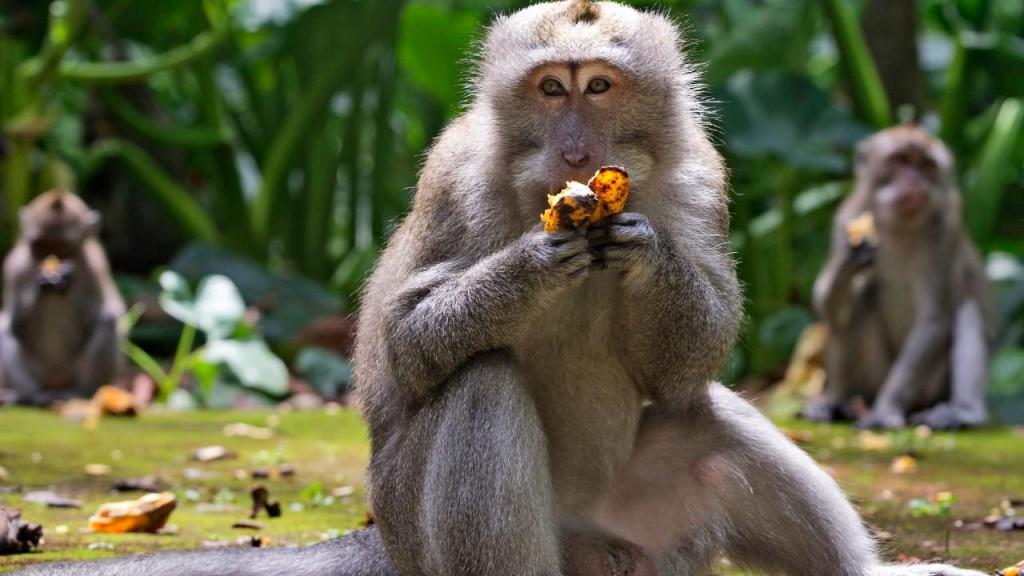 Macaco Bali