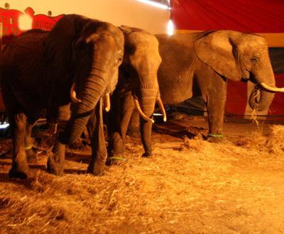 GNR fiscaliza animais dos circos (foto TIAGO PETINGA/LUSA)