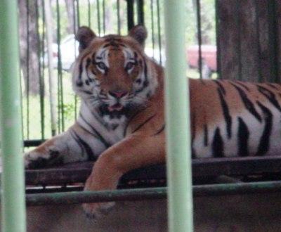 Tigre [Arquivo]